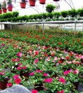 A view of our main greenhouse while spring production is in full swing