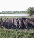 Pastured Hereford Hogs