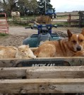 Red heeler and kitty